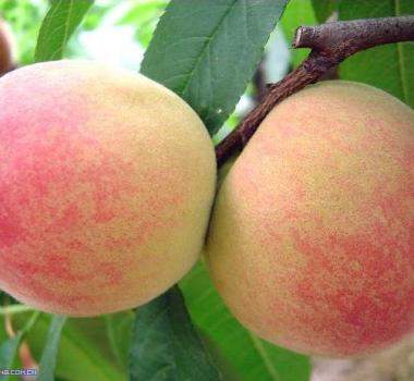 优质水蜜桃