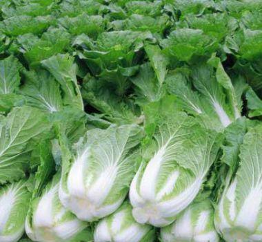 新鲜优质大白菜